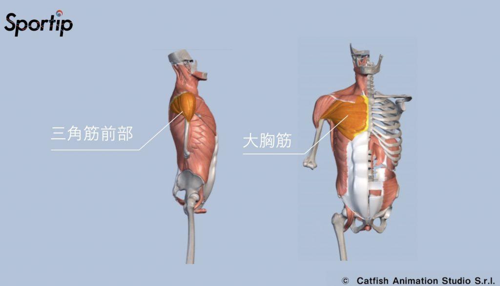 鍛えられる部位 三角筋前部 大胸筋
