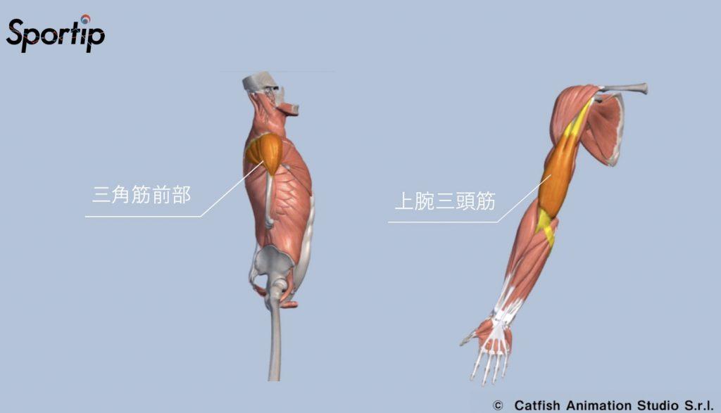 鍛えられる部位 三角筋前部 上腕三頭筋
