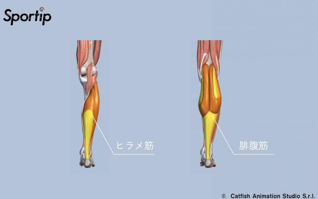 鍛えられる部位 ヒラメ筋 腓腹筋