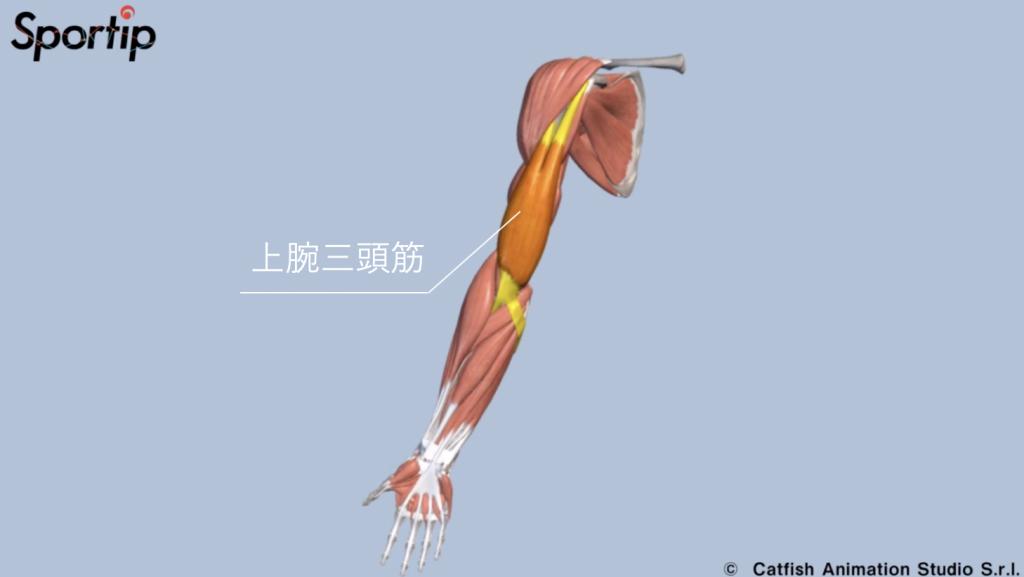 鍛えられる部位 上腕三頭筋