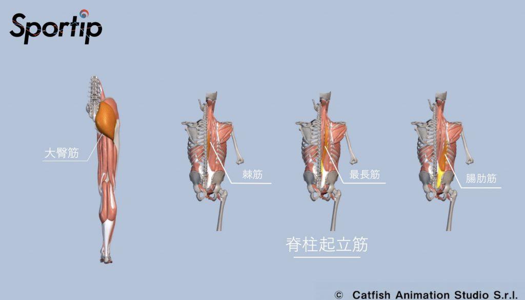 鍛えられる部位 (ハムストリングス・大臀筋・大腿四頭筋・脊柱起立筋)