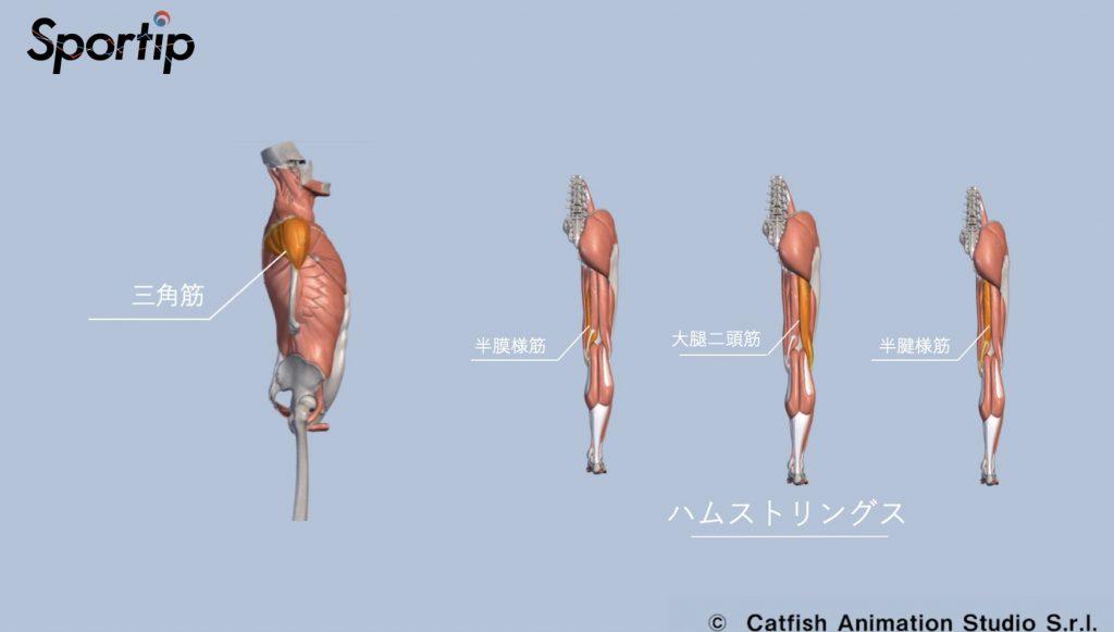 鍛えられる部位(ハムストリングス・大腿四頭筋・大臀筋・三角筋)