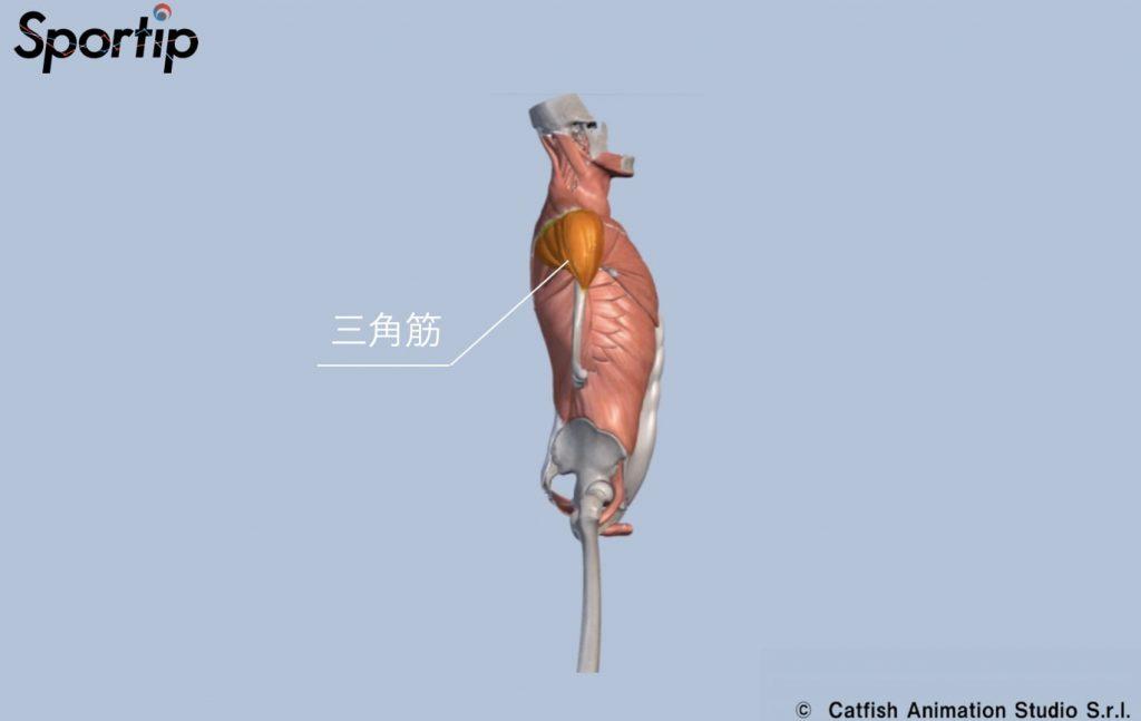 鍛えられる筋肉 (三角筋)